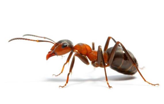 Semut Desa Sepandan